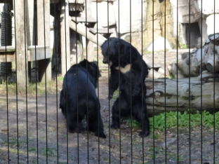 Not sure if these Asian black bears were playing, fighting, or performing for spectators