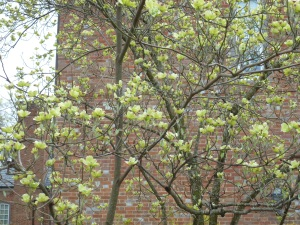 The dogwoods were almost in bloom this early April morning.